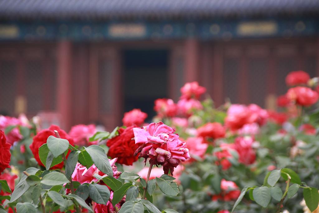 Rosen vor westlicher Halle