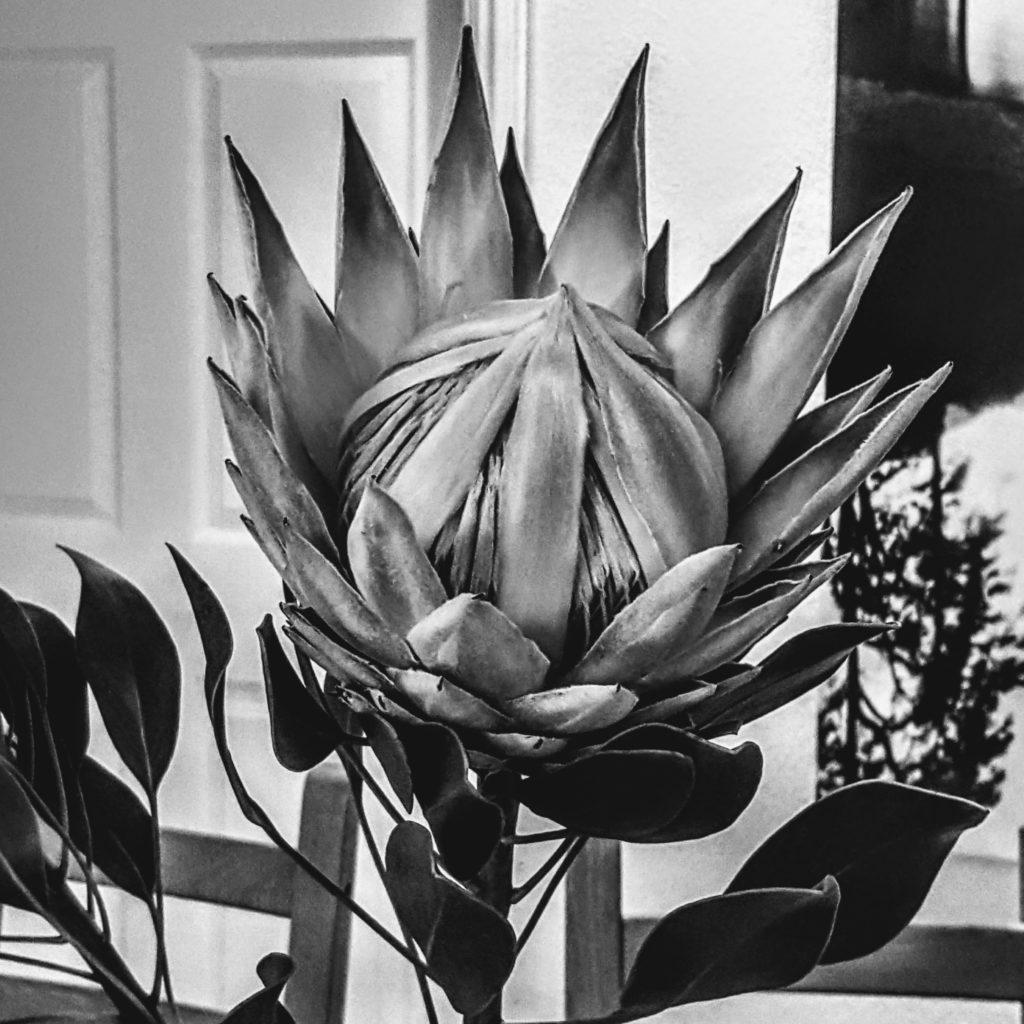 Im südlichen Afrika heimisch: Protea