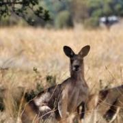 Hallo, sagte das Känguru