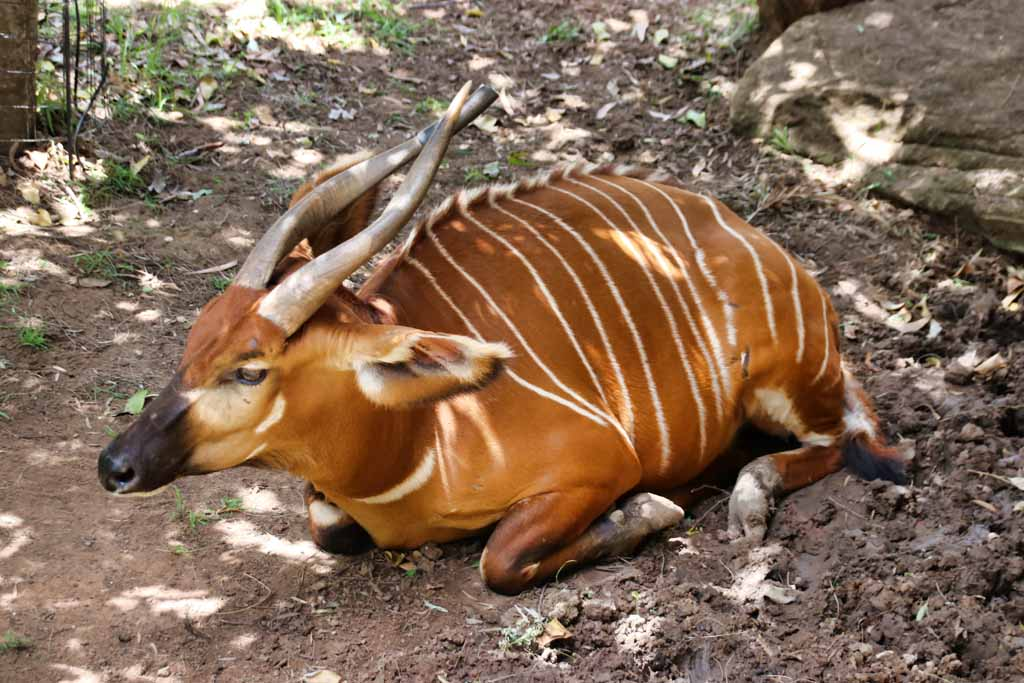 Bongo im Taronga Western Plains Zoo, Dubbo