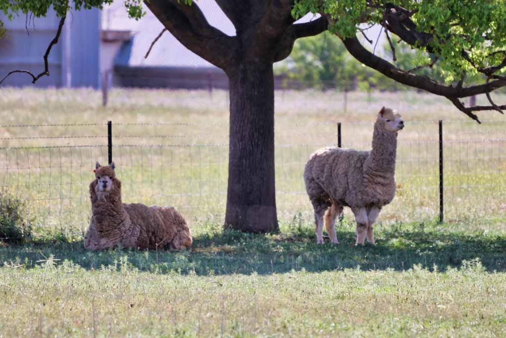 Alpakas in der Nähe von Wellington