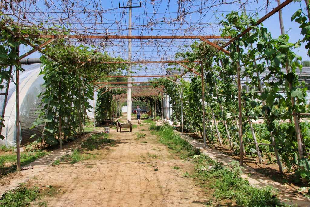Bepflanzte Pergola auf Pekinger Farm