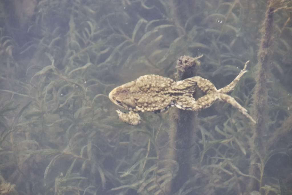Warzenkröte schwimmt im Houhai
