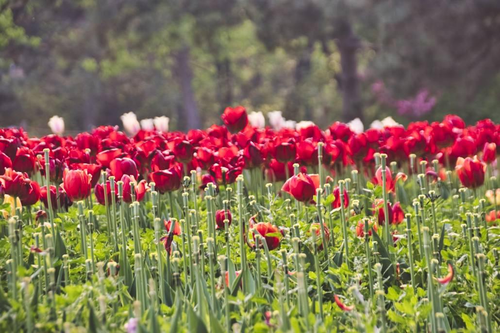 Das Bild zeigt rote Tulpen in Pekings Botanischem Garten, es dient als Paypal-Button.