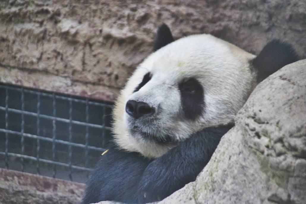 Panda im Panda-Haus im Pekinger Zoo