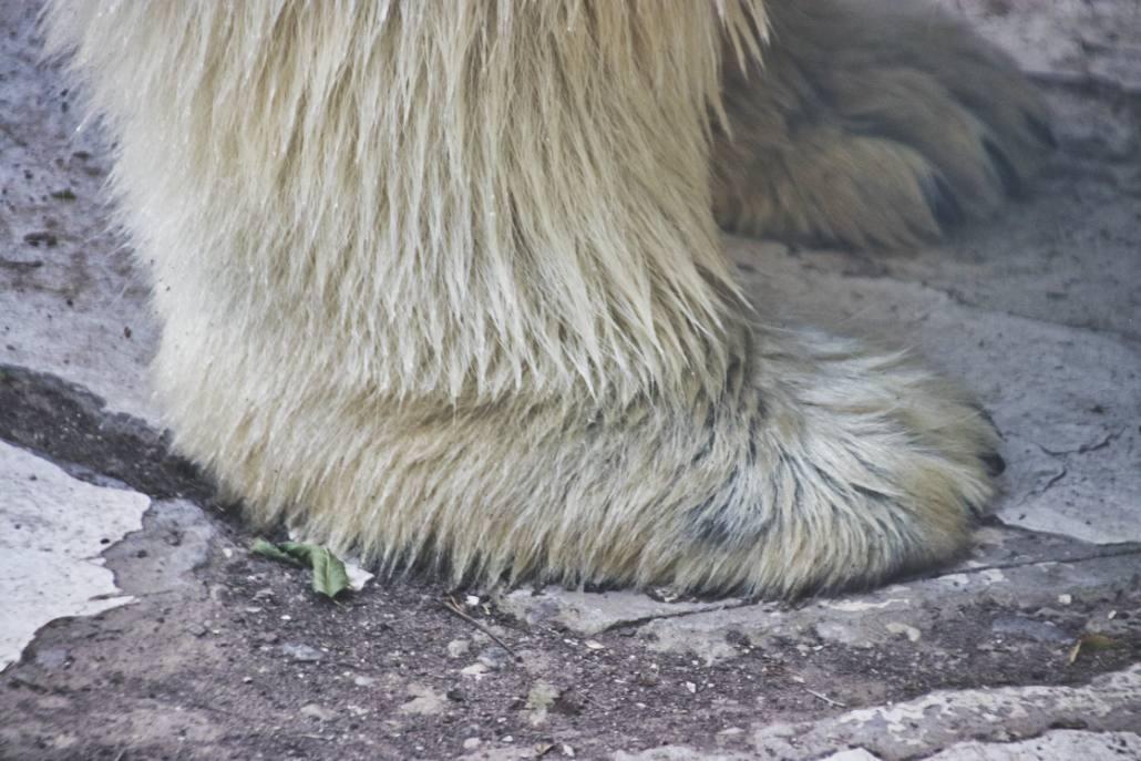 Eisbärenpranke