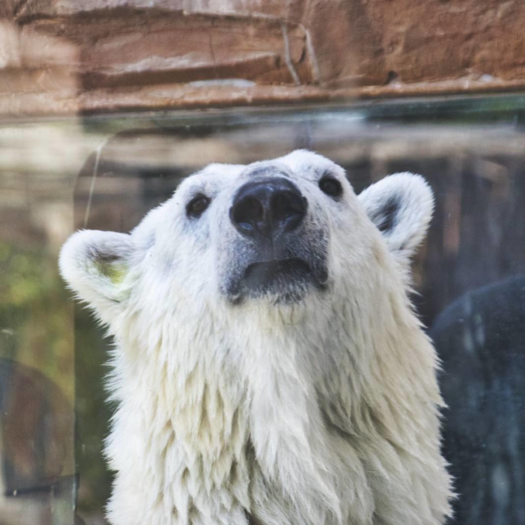 Eisbär in Pekings Zoo