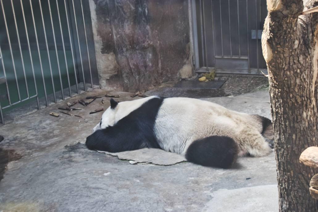 Flach ausgestreckt schlafender Panda im Pekinger Pandahaus