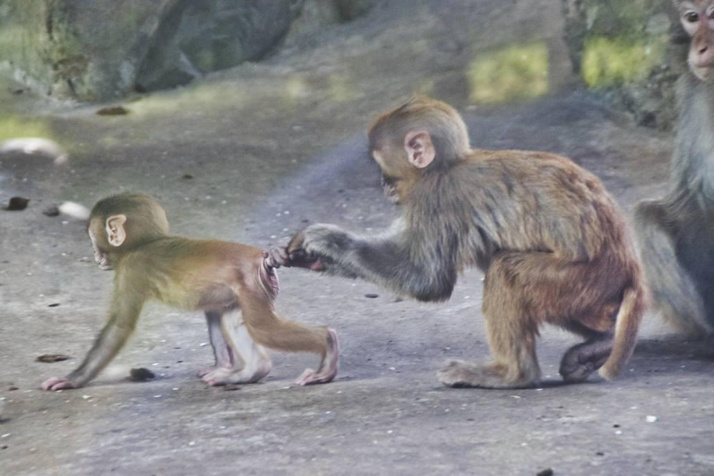Rhesusaffenmutter zieht ihr Junges am Schwanz im Pekinger Zoo