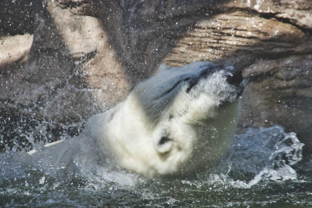 Eisbär badet in Pekings Zoo
